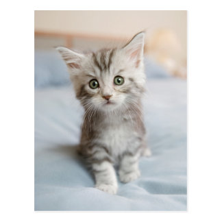 Maine Coon Kitten Sitting On Bed Postcard