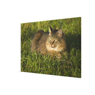 Maine coon (largest breed of domestic cats) canvas print