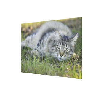 Maine Coon laying in grass, Central Florida. Gallery Wrapped Canvas