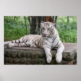 Majestic Bengal white Tiger Poster