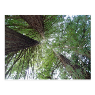 Majestic Coast Redwoods Postcard