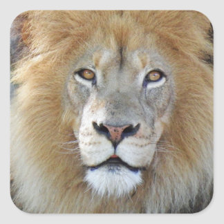 Majestic Lion Close Up Square Sticker
