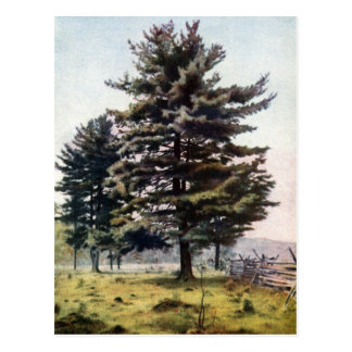 Majestic White Pine Tree Postcard
