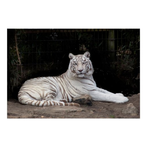 Majestic White Tiger Poster