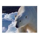 Majestic wild Polar bear Postcard