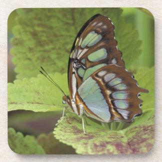 Malachite butterfly (Metamorpha stelenes) Beverage Coasters