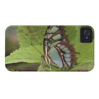 Malachite butterfly (Metamorpha stelenes) iPhone 4 Cases