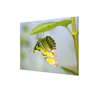 Malachite butterfly on leaf gallery wrap canvas