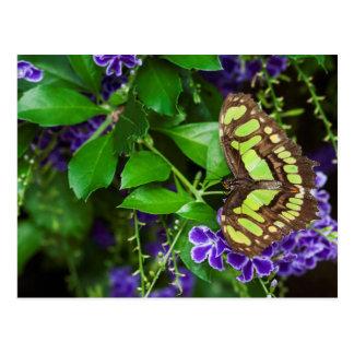 Malachite butterfly on purple flower postcard