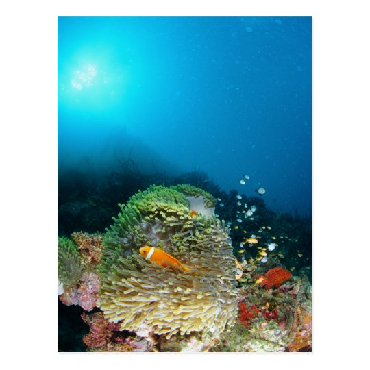 Maldives Anemone fish swimming underwater Postcard