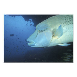 Maldives, Napoleanfish Chelinus undulatus) Photo Print