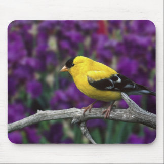 Male, American Goldfinch in summer plumage, Mouse Pad