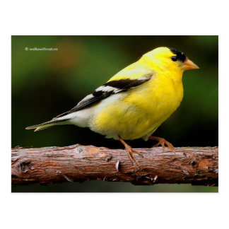 Male American Goldfinch on the Arbutus Postcard
