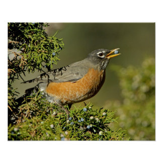 Male American Robin eating juniper tree Poster