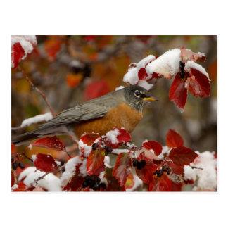 Male American Robin in Black Hawthorn Postcard