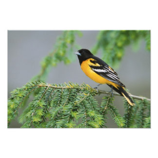 Male Baltimore Oriole, Icterus galbula, Male Photo Print