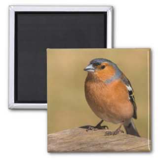 Male Chaffinch Magnet
