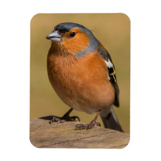 Male Chaffinch Photo Magnet