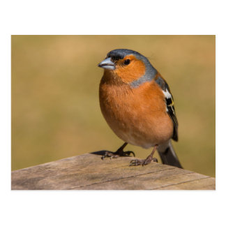 Male Chaffinch Postcard
