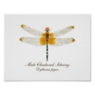 Male Checkered Setwing Dragonfly Poster