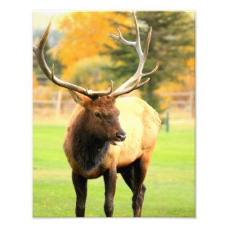 Male Elk With Tongue Out Photo