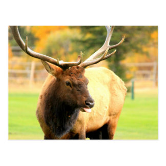 Male Elk With Tongue Out Postcard
