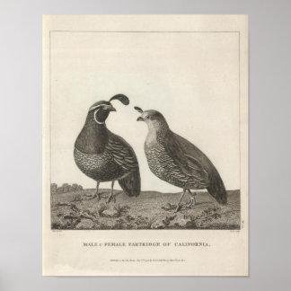 Male & Female Partridge of California Poster