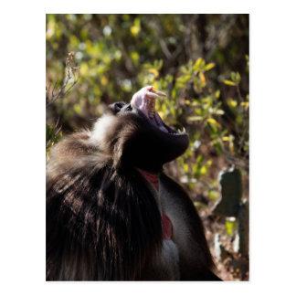 Male gelada baboon (Theropithecus gelada) Postcard