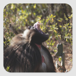 Male gelada baboon (Theropithecus gelada) Square Sticker