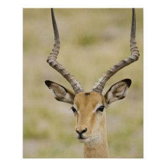 Male impala with beautiful horns in soft light poster