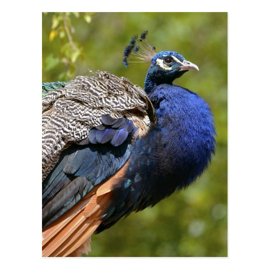 Male Indian Peafowl Postcard