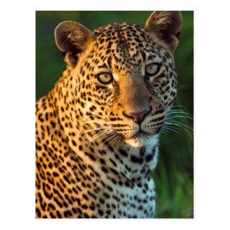 Male Leopard (Panthera Pardus) Full-Grown Cub Postcard