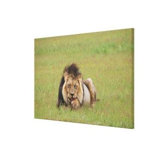 male lion, Panthera leo, cleaning itself, Gallery Wrap Canvas