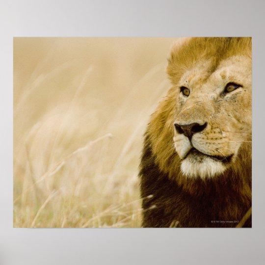 Male lion (Panthera leo) portrait, Masai Mara, Poster