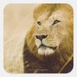 Male lion (Panthera leo) portrait, Masai Mara, Square Sticker