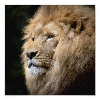 Male lion portrait on black background photo print