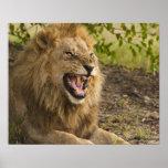 Male lion snarling (Panthera leo), Okavango Poster