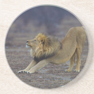 Male Lion Stretching Panthera Leo Yoga Coaster