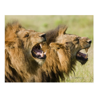 Male lions roaring, Greater Kruger National Postcard