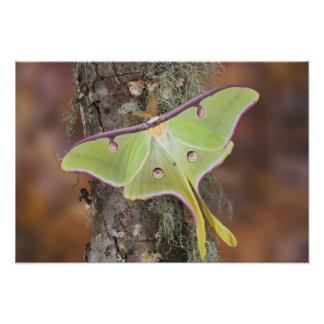 Male Luna Silk Moth of North American Photographic Print
