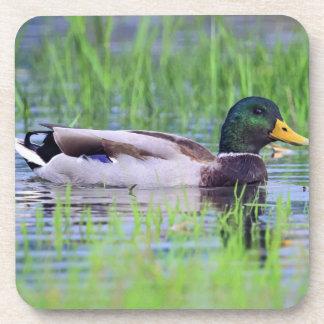 Male mallard duck floating on the water coaster