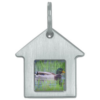 Male mallard duck floating on the water pet tag
