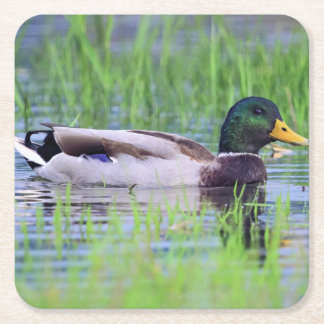 Male mallard duck floating on the water square paper coaster