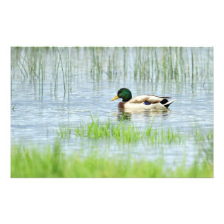 Male mallard duck floating on the water stationery