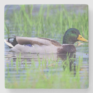 Male mallard duck floating on the water stone coaster