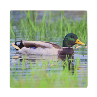 Male mallard duck floating on the water wood coaster