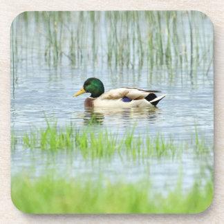 Male mallard or wild duck, anas platyrhynchos coaster