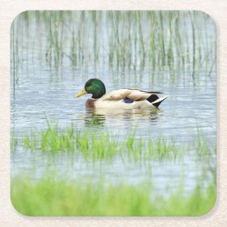 Male mallard or wild duck, anas platyrhynchos square paper coaster