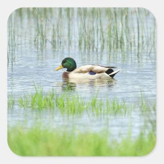 Male mallard or wild duck, anas platyrhynchos square sticker