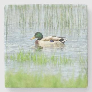 Male mallard or wild duck, anas platyrhynchos stone coaster